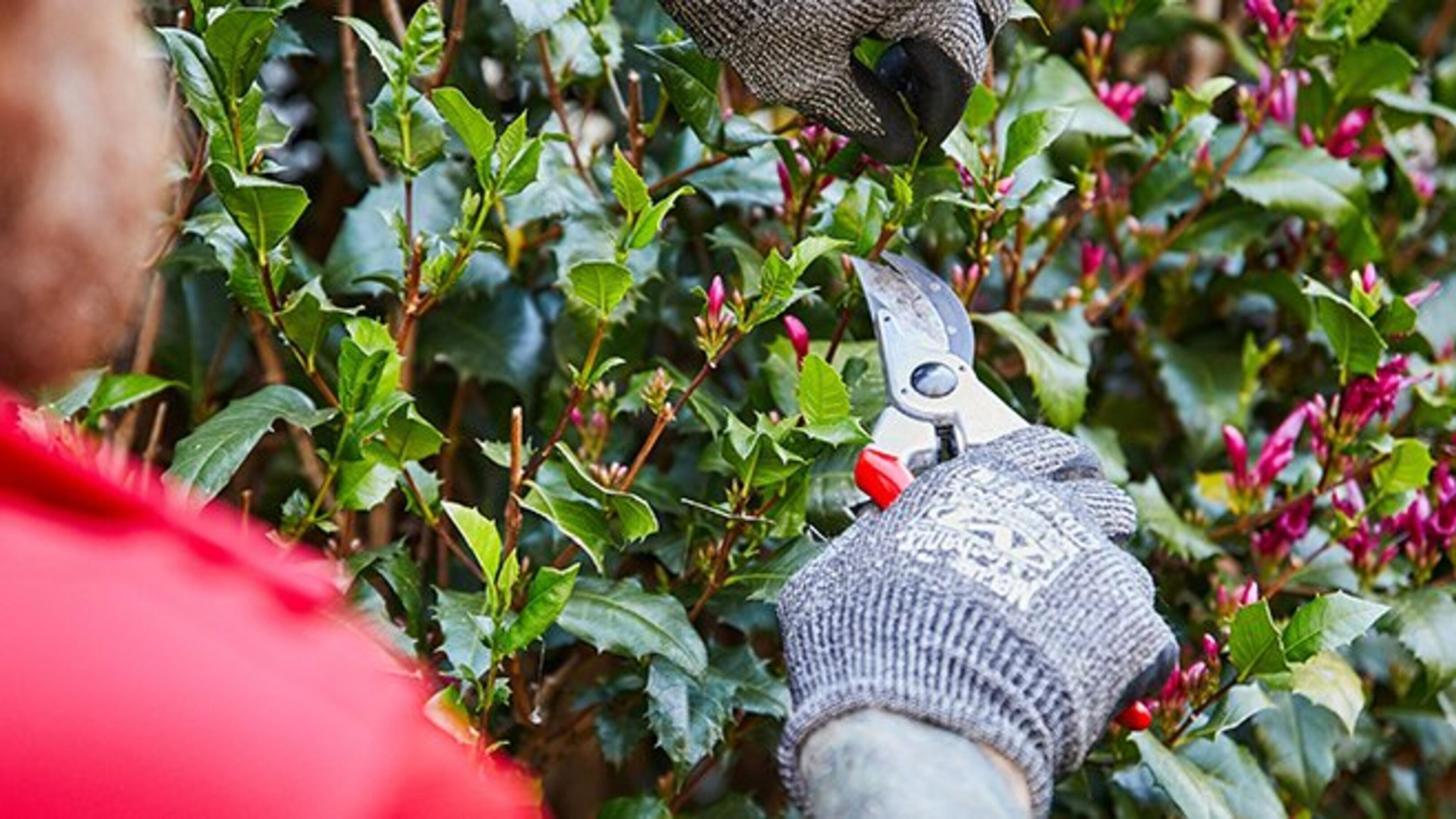 Pruning a flower bush with secateurs