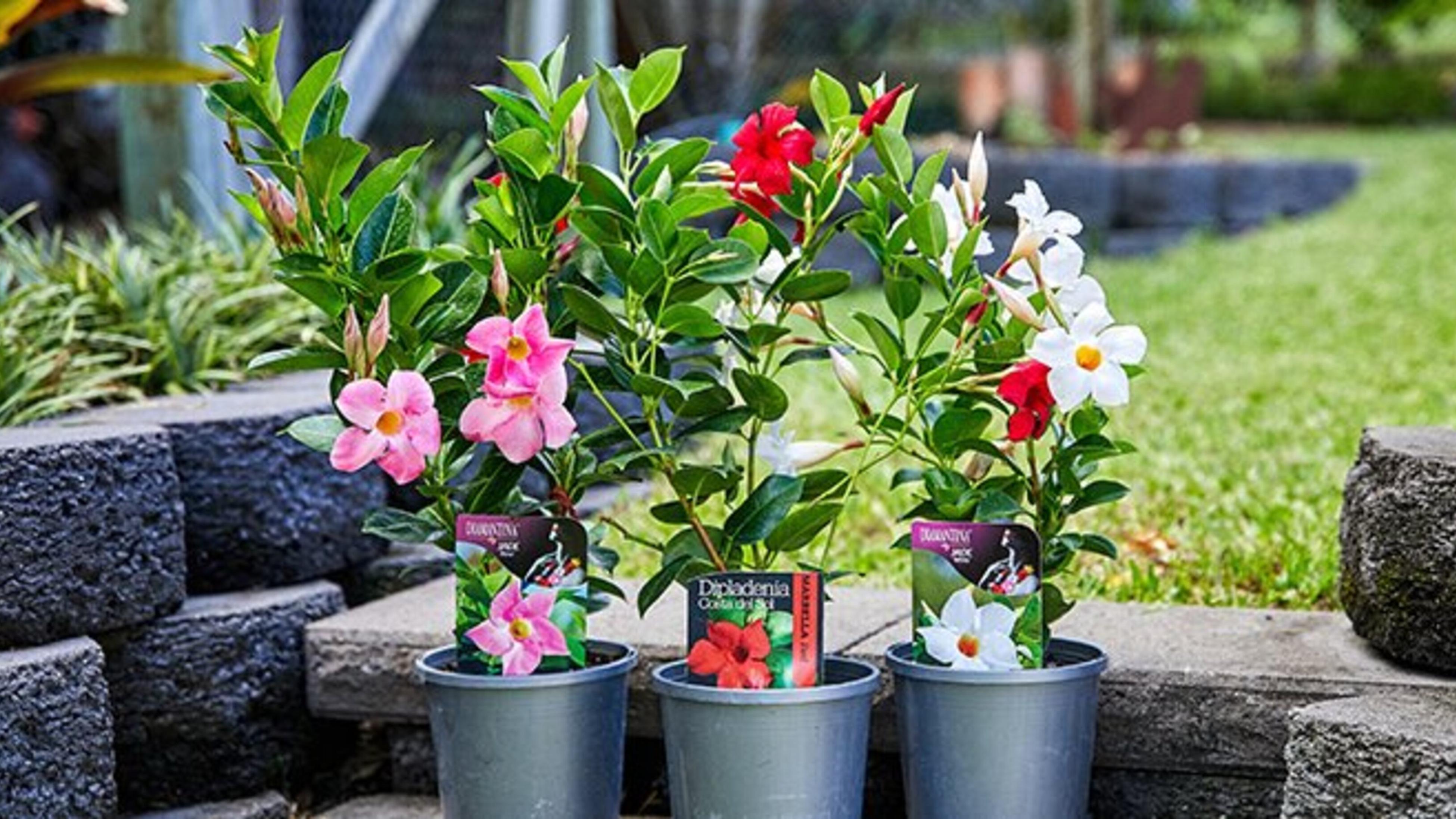 Stunning mandevilla plants in bloom.