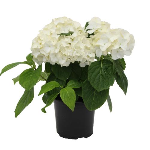 150mm Hydrangea - Hydrangea macrophylla