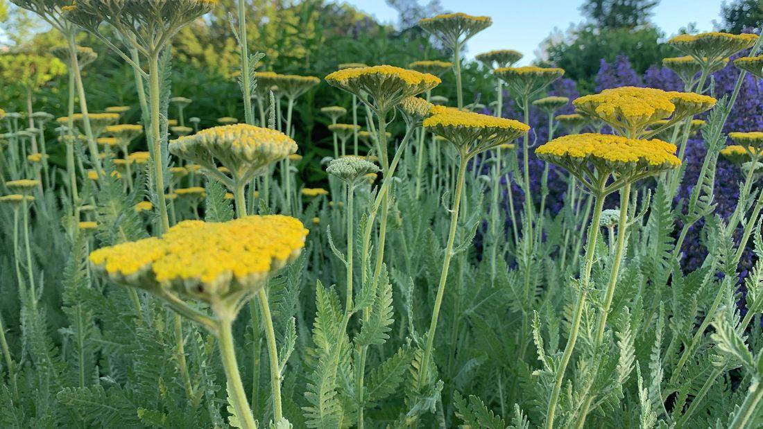beautiful yarrow plants in a field