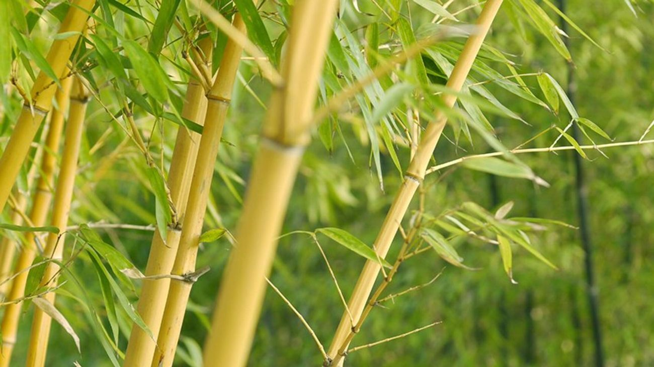 Close up of a bamboo plant.