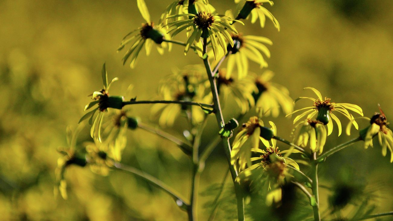 close up shot of the yellow flowers of the leopard plant