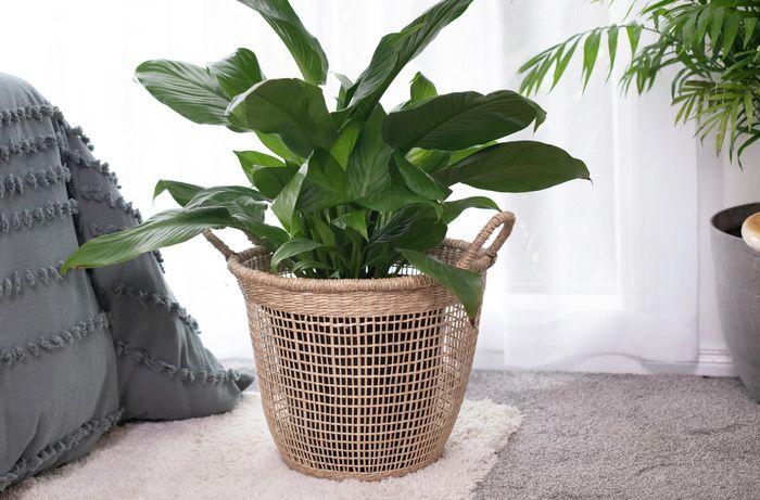 Green leafy plant on rug, in wicker basket style pot.