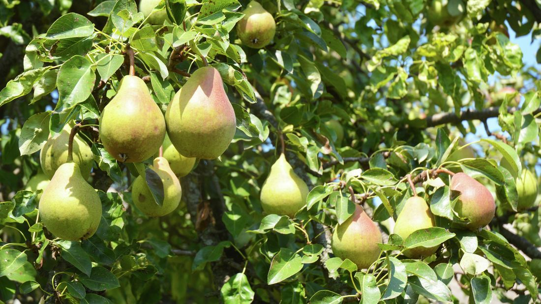 Pears hanging from a pear tree
