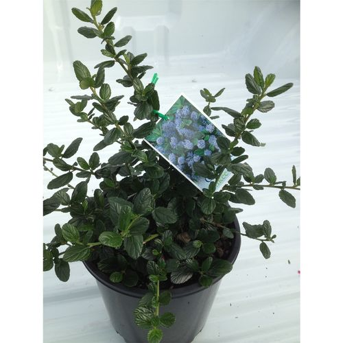 200mm Californian Lilac - ceanothus Yankee Point