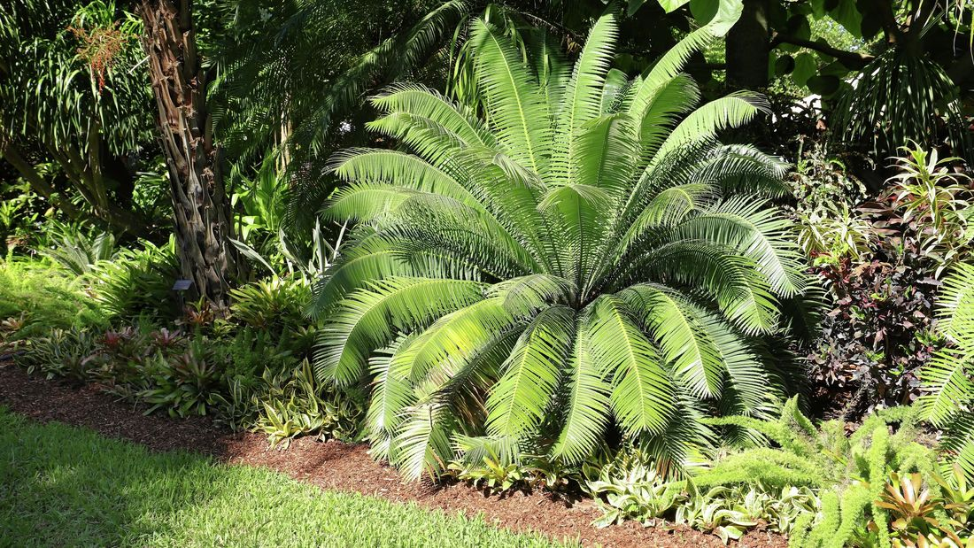 A cycad plant in a tropical garden