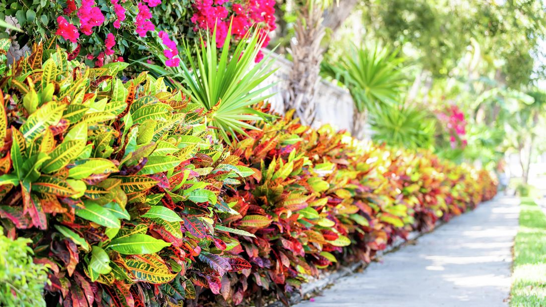 wide shot of croton plants planted up against a path