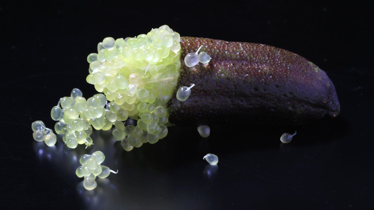Close-up of an open finger lime