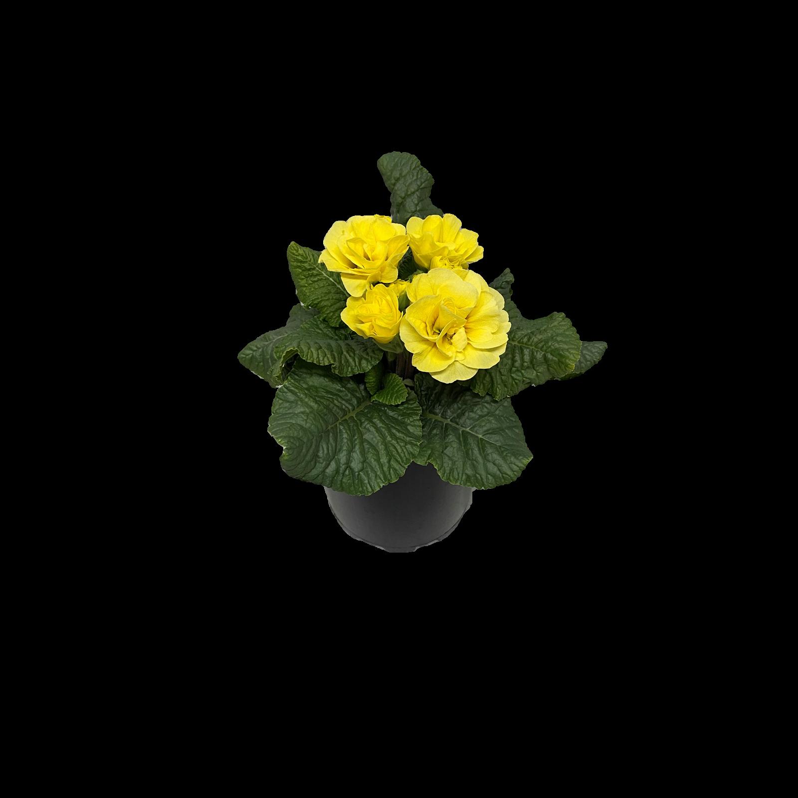 125mm Primula Petticoat - Primula Acaulis