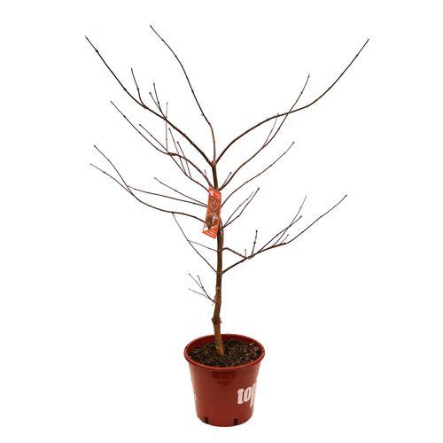 250mm Japanese Maple - Acer palmatum dissectum