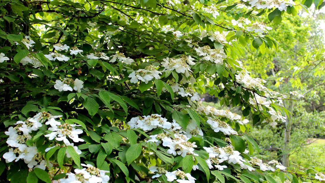 Wide shot of white viburnum flowers