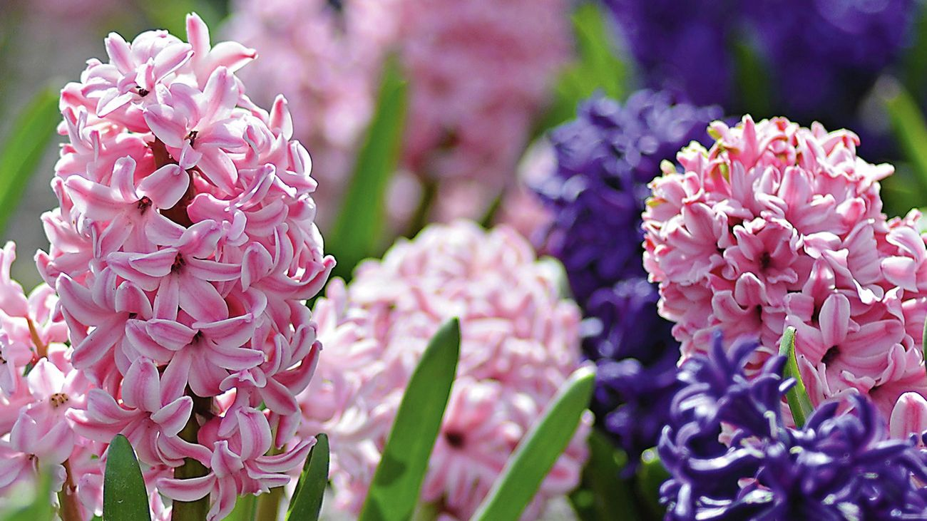 Pink and purple hyacinth flowers in a garden