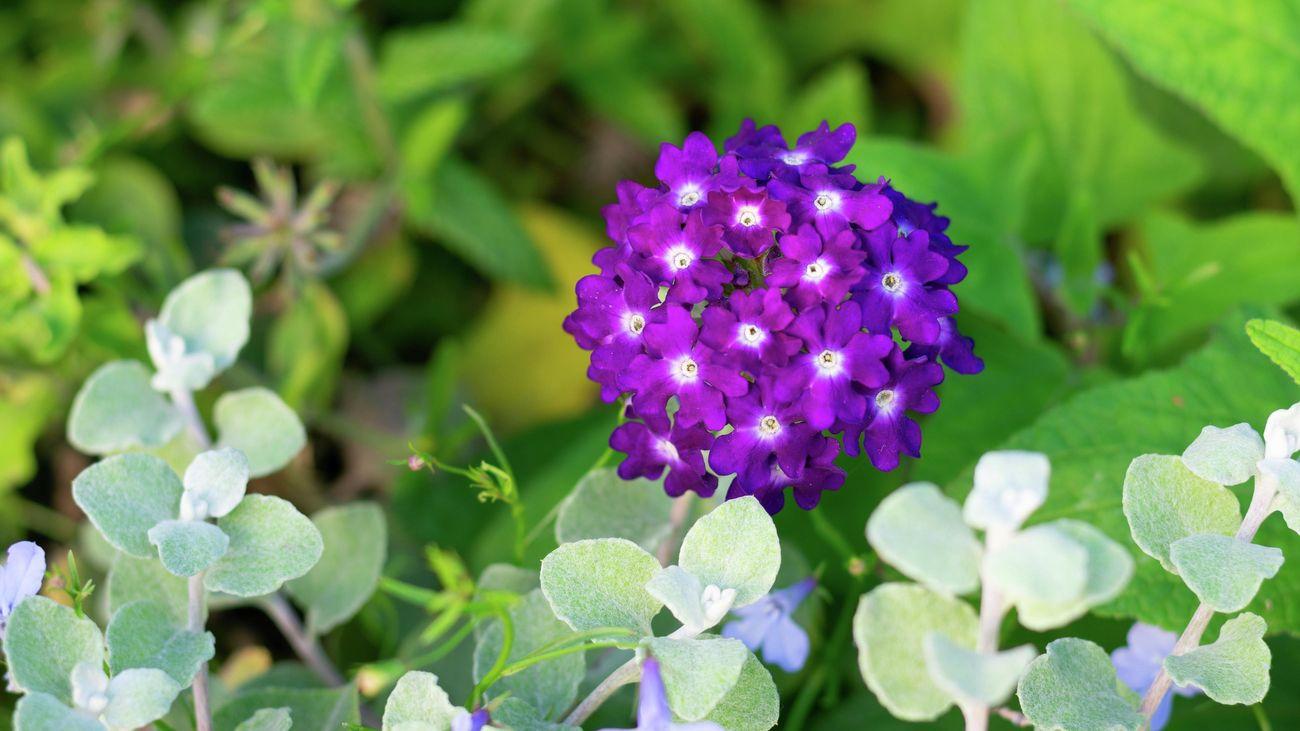 A purple and white verbena flower