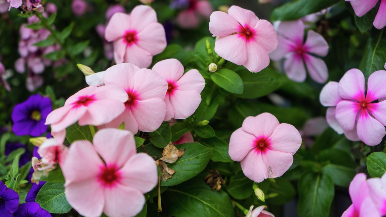 A cluster of pink impatiens flowers