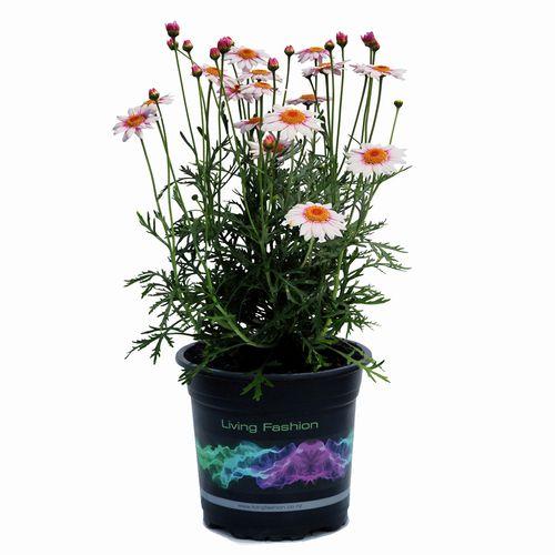2.5L Marguerite Daisy - Argyranthemum frutescens