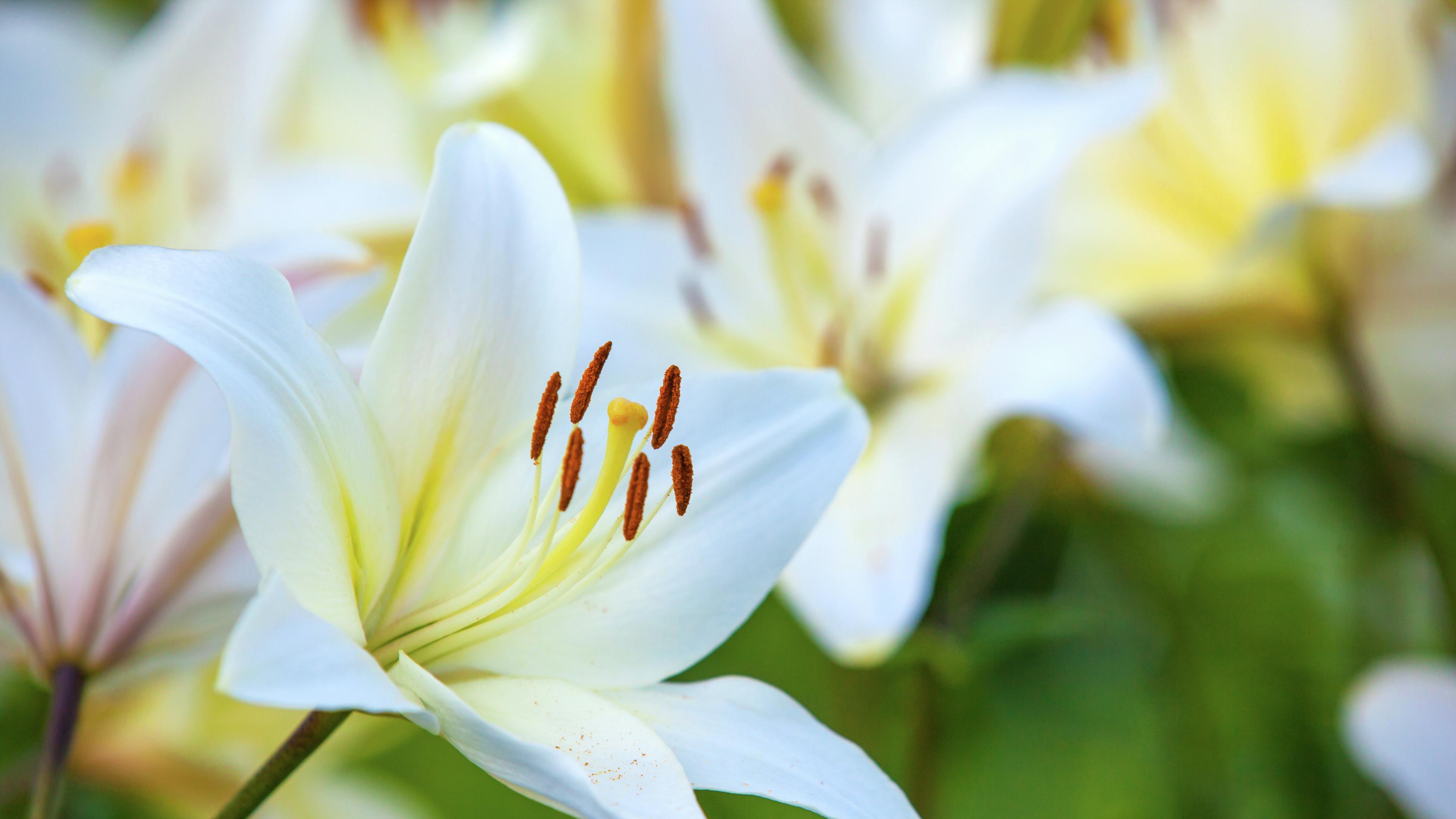 Lilies close up.