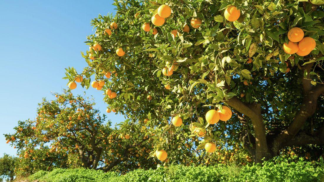 Orange trees with fruit