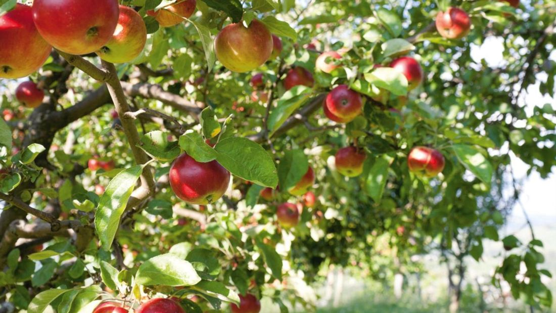 Fruiting tree filled with apples in an orchard.