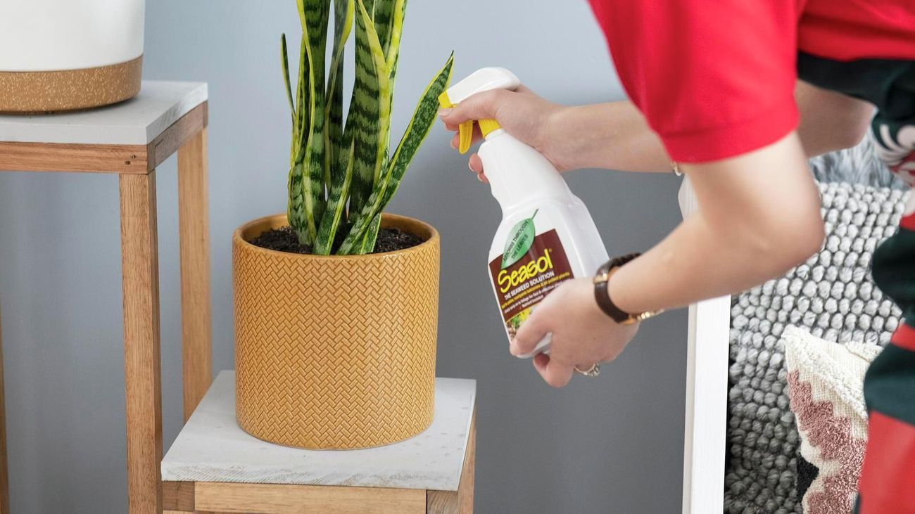 A bottle of Seasol is being sprayed onto a Sansevieria plant in a terracotta pot.