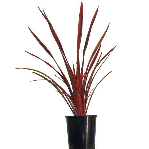 190mm Flax - Phormium firebird
