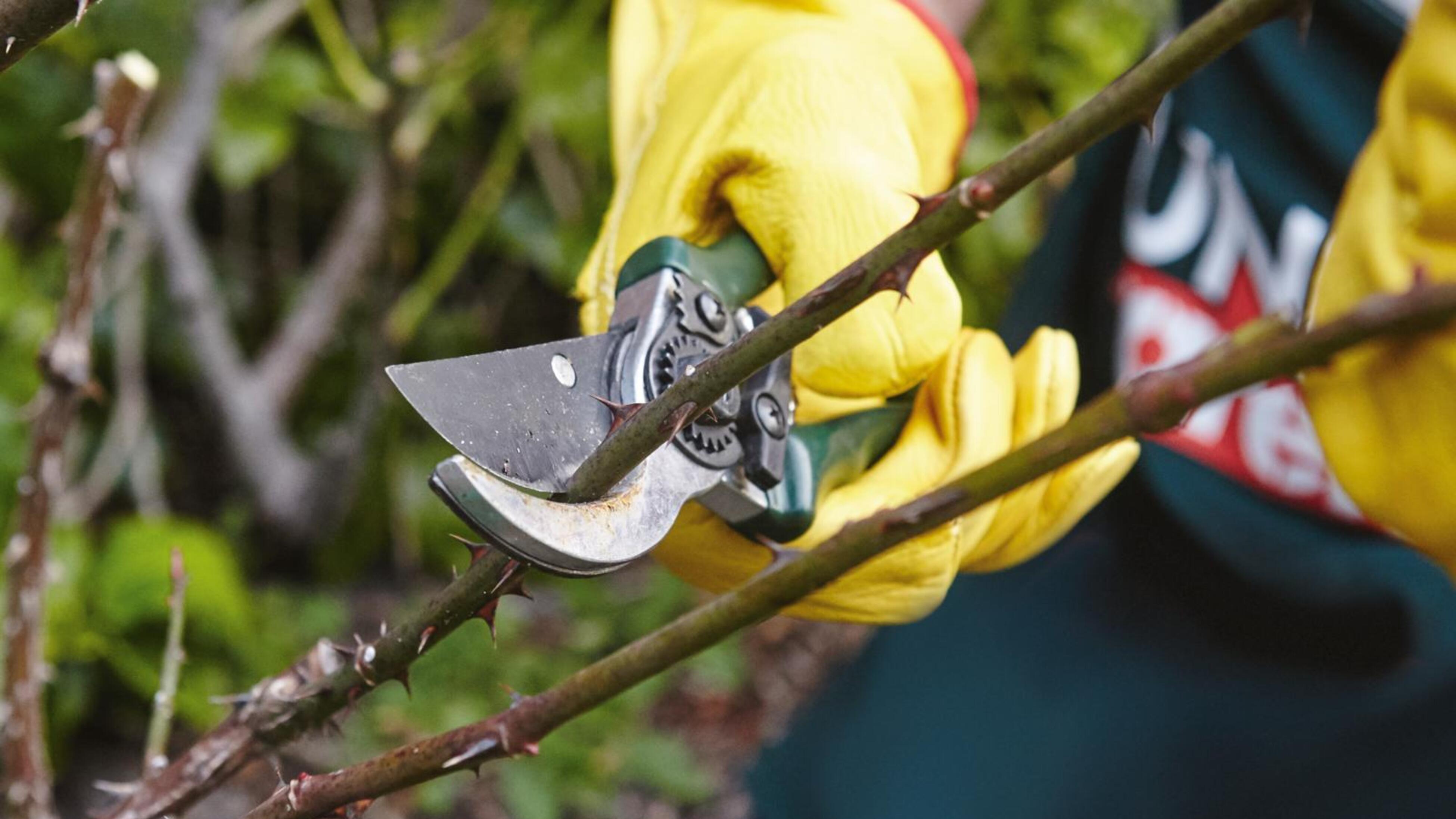 Person cutting rose stem.