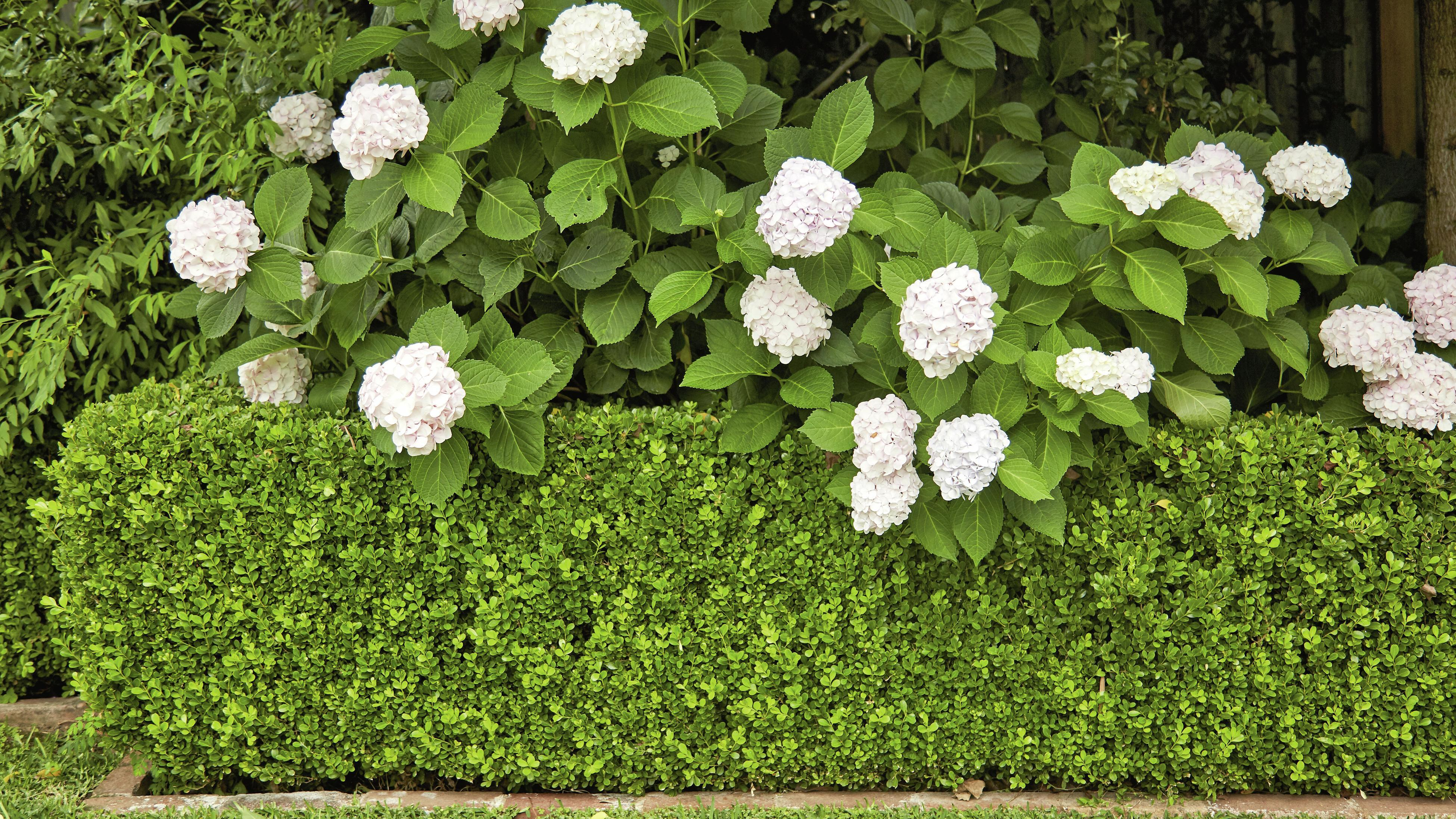 Trimmer hedge with flowers growing on it.